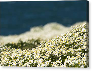 Sea Mayweed And The Sea Canvas Print by Anne Gilbert