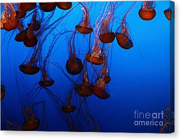 Sea Nettle Jelly Fish 5d24939 Canvas Print by Wingsdomain Art and Photography