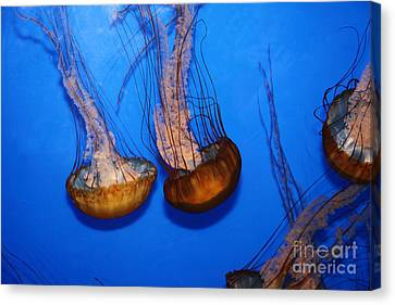 Sea Nettle Jelly Fish 5d25076 Canvas Print by Wingsdomain Art and Photography