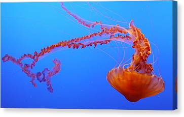 Sea Nettle Jellyfish Canvas Print by Amelia Racca