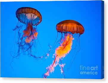 Sea Nettles Canvas Print by Anthony Sacco
