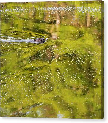 Beaver Canvas Print - Sea Of Green Square by Bill Wakeley