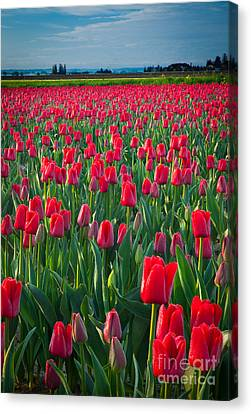 Sea Of Red Tulips Canvas Print