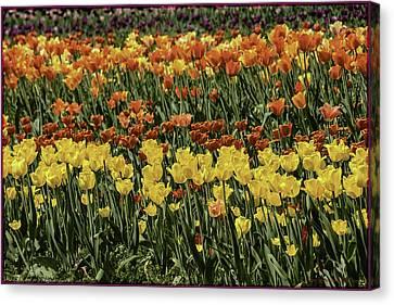 Sea Of Tulips Canvas Print by LeeAnn McLaneGoetz McLaneGoetzStudioLLCcom
