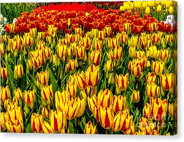 Sea Of Tulips Canvas Print by Nick Zelinsky