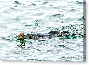 Sea Otter In Northern Cali Canvas Print by Rebecca Adams