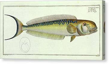 Sea-pea-cock Canvas Print by Natural History Museum, London