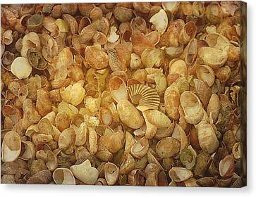 Seashells Red River Beach Harwich Cape Cod Ma Canvas Print by Suzanne Powers
