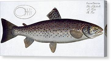 Sea Trout Canvas Print by Andreas Ludwig Kruger