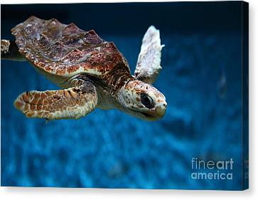 Sea Turtle 5d25079 Canvas Print by Wingsdomain Art and Photography