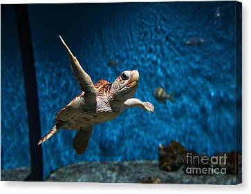 Sea Turtle 5d25085 Canvas Print by Wingsdomain Art and Photography