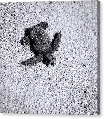 Sea Turtle In Black And White Canvas Print by Sebastian Musial