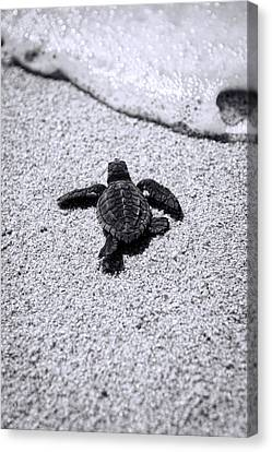 Canvas Print featuring the photograph Sea Turtle by Sebastian Musial
