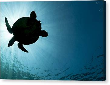 Sea Turtle Silhouette Canvas Print