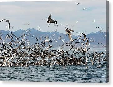 Seabirds Feeding Canvas Print by Christopher Swann