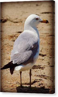 Seagull 3 Series 2 Canvas Print by Kelly Nowak