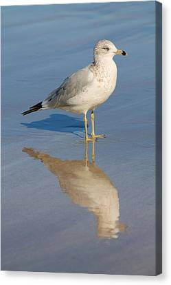 Seagull Canvas Print by Alicia Knust