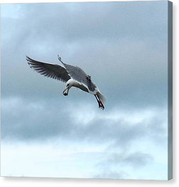 Seagull And His Breakfast Canvas Print