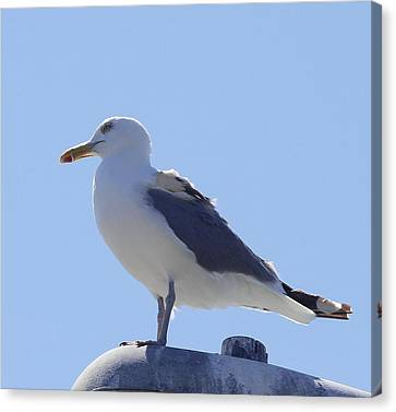 Seagull At Oregon Inlet 7 Canvas Print by Cathy Lindsey
