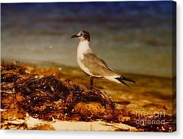 Seagull At The Keys Canvas Print by Deborah Benoit