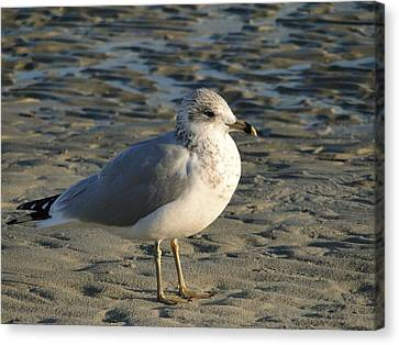 Seagull Canvas Print by Cindy Croal