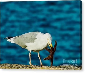 Seagull Dancing With A Star Canvas Print by Carol F Austin