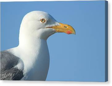 Seagull  Canvas Print by Diane Rada