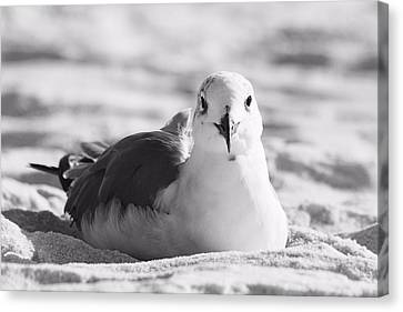 Canvas Print featuring the photograph Seagull by Elizabeth Budd
