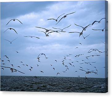 Seagull Flight Canvas Print by Aimee L Maher Photography and Art Visit ALMGallerydotcom
