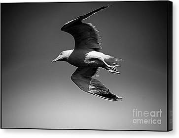 Seagull Flying Higher  Canvas Print by Stefano Senise
