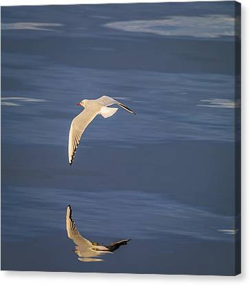 Flying Seagull Canvas Print - Seagull Flying Low Over Reykjavik by Panoramic Images