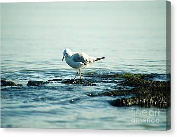 Canvas Print featuring the photograph Seagull Hunting by Yew Kwang
