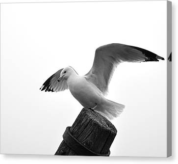 Seagull In Black And White Canvas Print by Todd Soderstrom