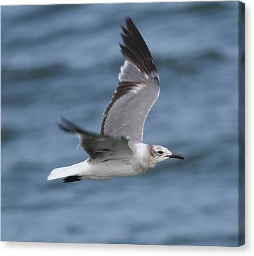 Ga Canvas Print - Seagull In Flight 11 by Cathy Lindsey