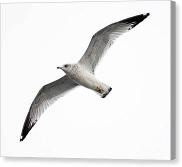 Canvas Print featuring the photograph Seagull In Flight by Anita Oakley
