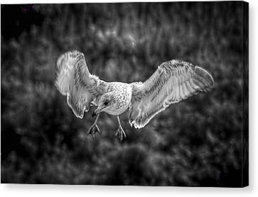 Seagull In Flight Canvas Print by Linda Unger