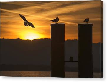 Seagull In The Sunset Canvas Print by Chevy Fleet