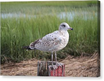 Canvas Print featuring the photograph Seagull by Karen Silvestri