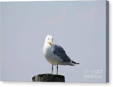 Seagull Looking For Some Food Canvas Print by John Telfer