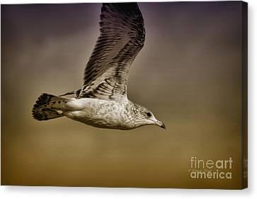 Seagull Oil Canvas Print by Deborah Benoit