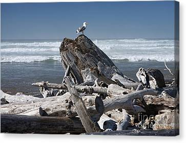 Seagull On Oregon Coast Canvas Print by Peter French