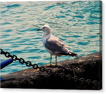Seagull On The Chicago Seawall Canvas Print