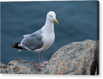 Sea Birds Canvas Print - Seagull by Sebastian Musial