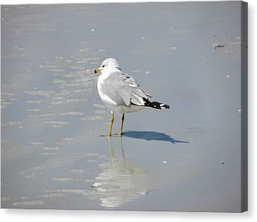 Seagull Shadows Canvas Print by Rosie Brown