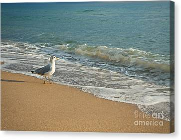 Seagull Walking On A Beach Canvas Print by Sharon Dominick