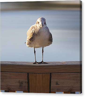 Seagull With An Attitude  Canvas Print by Mike McGlothlen