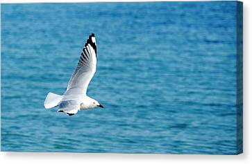 Canvas Print featuring the photograph Seagull by Yew Kwang