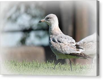 Seagulls 1 Canvas Print