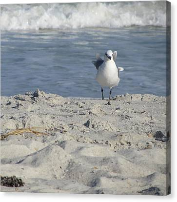 Seagulls At Fernandina 4 Canvas Print