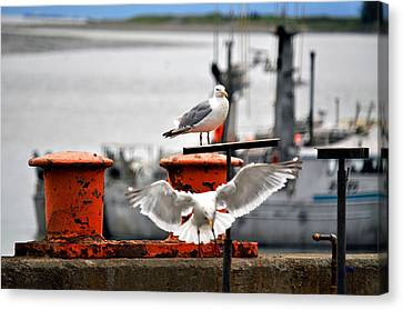Seagulls Expression Canvas Print by Debra  Miller